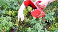 Blueberry harvest. video