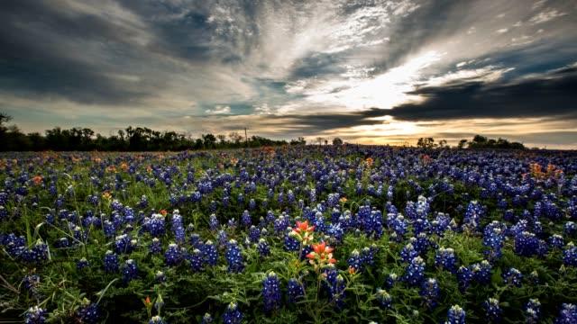Bluebonnet Wildflower Timelapse video