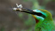 Blue-cheeked Bee-eater video