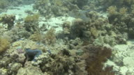 Bluespotted Sting Ray video