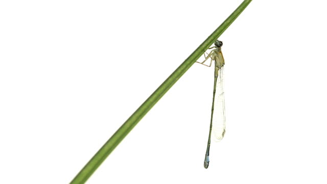 Blue-tailed Damselfly hanging on a leaf video