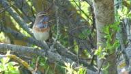 Bluethroat (Luscinia svecica) part 3/3 video