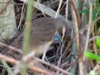 Bluethroat (Luscinia svecica) video