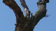 Bluetits Nest video