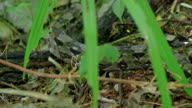 Boa Constrictor in Tropical Rainforest Close-up, Mexico video
