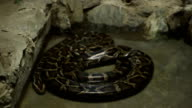 Boa Constrictor Snake video