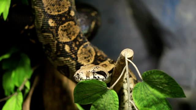 boa constrictor video