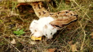 Boa Constrictors strangling its prey in nature video