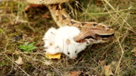 Boa Constrictors strangling its prey in nature video
