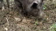 Boar digs the ground video