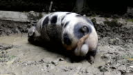 Boar in the mud video