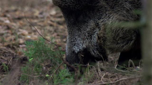 Boar looking for eat video