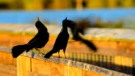 Boat-tailed Grackles competing for females video
