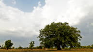 Bodhi tree. Time Lapse video