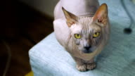 Bold funny and terrible Sphinx cat video