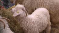Bolivia goat video