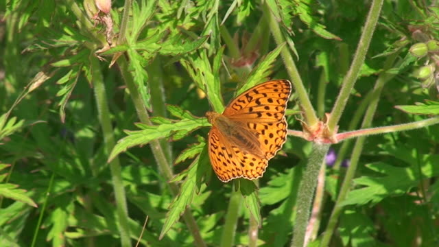 Boloria euphrosyne butterfly video