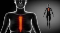 STERNUM  bone skeleton x-ray scan in black video