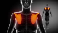 SCAPULA  bone skeleton x-ray scan in black video