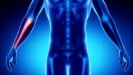 ULNA  bone skeleton x-ray scan in blue video