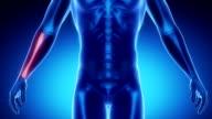 RADIUS bone skeleton x-ray scan in blue video