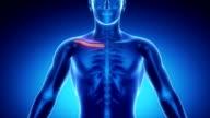 CLAVICLE  bone skeleton x-ray scan in blue video