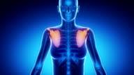 SCAPULA  bone skeleton x-ray scan in blue video