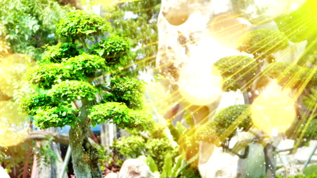 bonsai tree in garden and sunrays seamless loop video