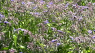 Borago officinalis with bees video