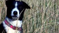 Border Collie 1: Attention! video