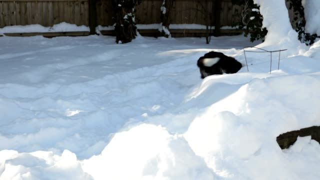 Border Collie Dog Running and Playing Ball in Snow (Video) video