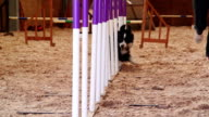 Border Collie in Agility Test video