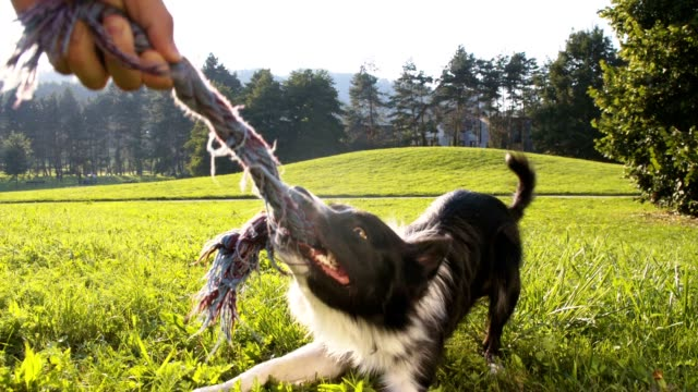 SLO MO Border Collie pulling a rope video