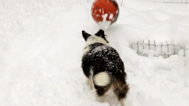 Border Collie Pushing Ball; Snowing video