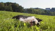 Border Collie rolling on the grass video