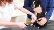 Boston terrier dog getting his nails clipped video