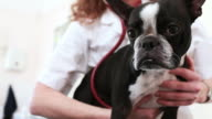 Boston Terrier gets a check up video