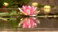 Botanical garden - Seerose im botanischen Garten video