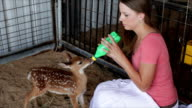 Bottle Feeding the Fawn video