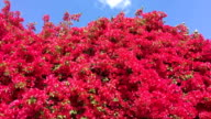 Bougainvillea and Blue Sky with Cloud video
