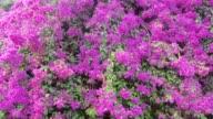 Bougainvillea Flowers Bloom video