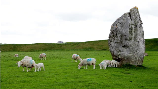 Bouncing Lambs at Avebury Stone Circle video