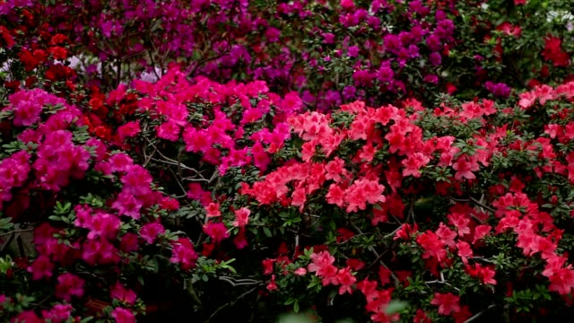 Boundless Sea of Azaleas Flowers of Different Colors video
