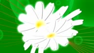Bouquet of chamomiles. Animation. video