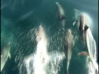 Bow Riding Dolphin video