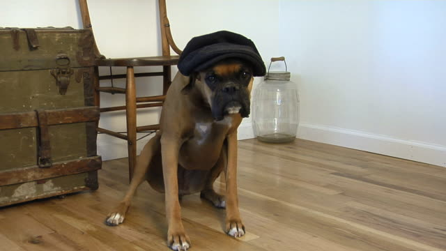 Boxer dog with hat video