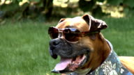 Boxer dog with sunglasses video