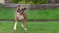 Boxer shakes water off. video