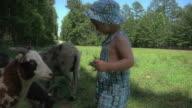 Boy Feeding Sheep video