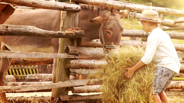 Boy in the straw hat brings a stack of hay to a donkey at the farm video